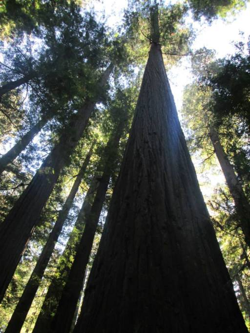 Majestic Redwoods